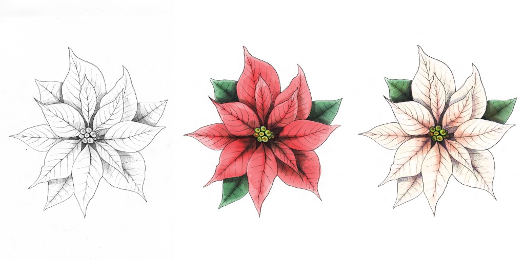 poinsettiaprogression